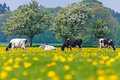 Dutch cows in a dandelion filled meadow in springtime with blossoming trees the background Royalty Free Stock Photos