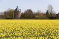 Dutch daffodils field Royalty Free Stock Photo