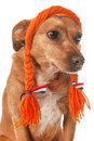Dutch dog Royalty Free Stock Photography