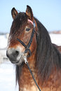 Dutch draught horse with bridle in winter portrait of stallion standing on snow sunny Royalty Free Stock Photo