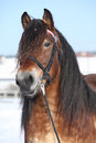 Dutch draught horse with bridle in winter portrait of stallion standing on snow sunny Royalty Free Stock Photos