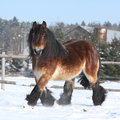 Dutch draught horse with long mane running in snow gorgeous the winter Royalty Free Stock Image