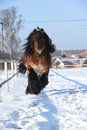 Dutch draught horse with long mane running in snow gorgeous the winter Stock Photos