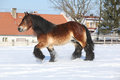 Dutch draught horse with long mane running in snow gorgeous the winter Stock Photo