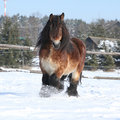 Dutch draught horse with long mane in the snow gorgeous running winter Stock Image