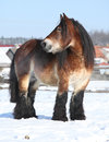 Dutch draught horse stallion in winter with long mane standing on snow sunny Stock Photos