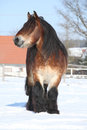 Dutch draught horse stallion in winter with long mane standing on snow sunny Stock Photography