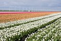 Dutch field of colorful tulips with windmills Royalty Free Stock Photo