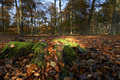 Dutch forest in autumn on a sunny day with blue sky and beautiful sun rays greem moss Stock Photos