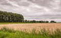 Dutch landscape with a cloudy sky threatening clouds above field of corn ripe for harvesting Royalty Free Stock Photo
