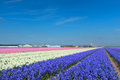 Dutch landscape with flower bulbs Royalty Free Stock Photo