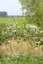 Dutch landscape with fruit trees blossom,Betuwe.Netherlands