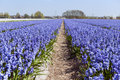 Dutch landscape with Hyacinth flowers Royalty Free Stock Images