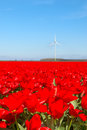 Dutch landscape with red tulips Royalty Free Stock Photo