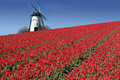 Dutch mill and red tulips Royalty Free Stock Photo
