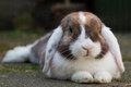 Dutch mini-lop rabbit in the garden Stock Image