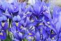 Dutch miniature blue iris iris reticulata in the garden Royalty Free Stock Photography