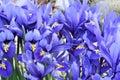 Dutch miniature blue iris iris reticulata in the garden Royalty Free Stock Photography
