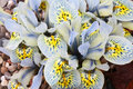 Dutch miniature iris iris reticulata bright blue in the garden Stock Photo