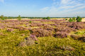 Dutch natural area of heathland in summertime Royalty Free Stock Photo