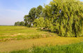 Dutch polder landscape with a weeping willow in the foreground netherlands huge and duckweed covered ditch it s sunny day Royalty Free Stock Image