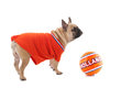 Dutch soccer dog in orange sports wear as fan Stock Photo