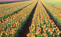 Dutch Tulip Bulbs Field Landscape Stock Photo