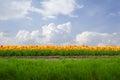 Dutch tulip field in sunny day