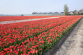 Dutch Tulip fields Stock Image