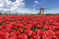 Dutch tulip windmill landscape with red tulips and the Stock Photography