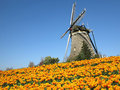 Dutch tulip windmill landscape with yellow red tulips farm and wind mill Royalty Free Stock Photos