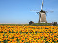 Dutch tulip windmill landscape with yellow red tulips and the wind mill Royalty Free Stock Images