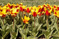 Dutch tulips Royalty Free Stock Photos