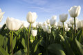 White tulip field III Royalty Free Stock Photo