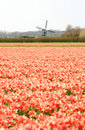 Dutch wind mill and red tulip fields Royalty Free Stock Images