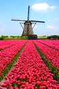 Dutch windmill and tulips rows of pink with in the background Stock Images