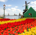 Dutch windmill of zaanse schans with spring tulips netherlands Royalty Free Stock Photo
