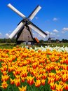 Dutch windmills and tulips traditional windmill with vibrant orange yellow Stock Photography