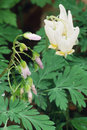 Dutchman's Breeches Stock Photos