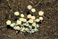 Dwarf Buckwheat Eriogonum Species at Craters of the Moon National Monument