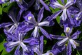 Dwarf crested iris in bloom. Royalty Free Stock Photo