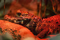 Dwarf crocodile osteolaemus tetraspis in red light Stock Image