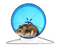 Dwarf hamster in blue exercise wheel Stock Images