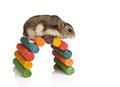 Dwarf hamster climbing winter white over colourful wooden arch Stock Photos