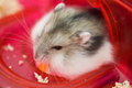 Dwarf hamster eating corn in red tunnel Royalty Free Stock Photography