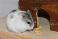 Dwarf hamster eating Royalty Free Stock Photo