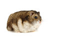Dwarf hamster white background Stock Images