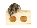 Dwarf hamster winter white sat on wooden block Stock Photos