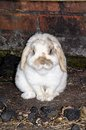 Dwarf lop rabbit mini sitting upright amongst lumps of coal Stock Images