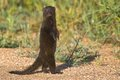 Dwarf mongoose helogale parvula in kruger national park south africa Stock Photography